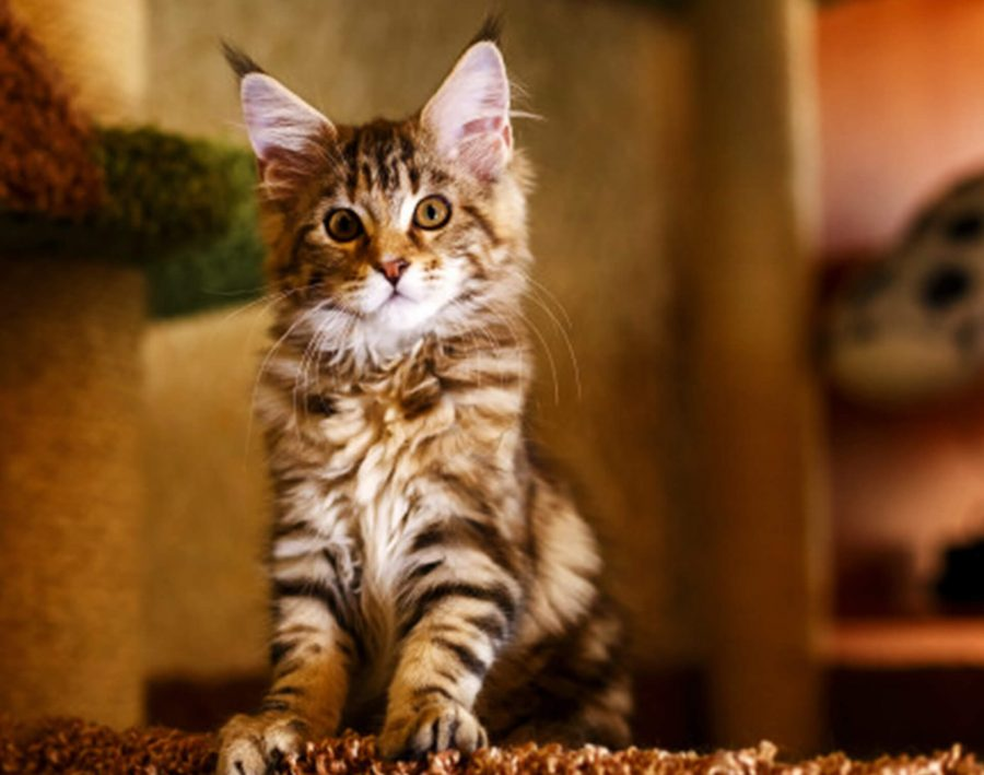 Essential Tips For the First-Time Cat Owners